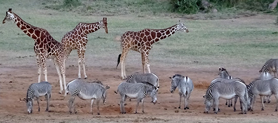 Image of giraffes and zebras