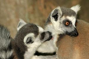 Lemurs grooming (photo credit Ipek Kulahci)